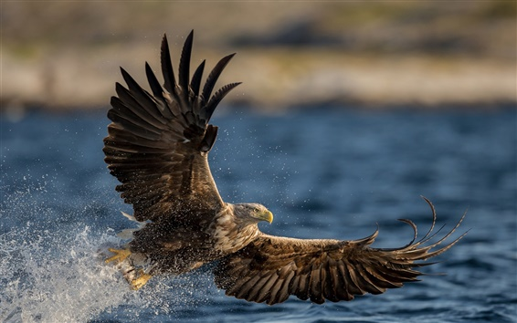 Wallpaper White-tailed eagle, predator, wings, flying, water