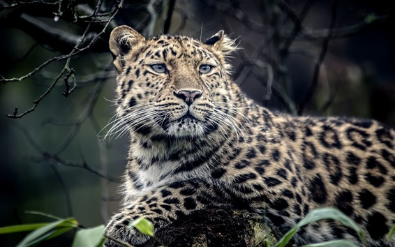 Fond d'écran Léopard animal, prédateur