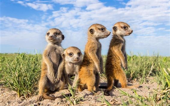 Wallpaper Animals close-up, meerkats