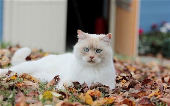 Wallpaper Autumn leaves, white cat