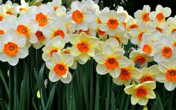 Обои Красивые цветы, многие нарциссы