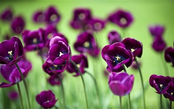 壁紙 美しい紫色のチューリップの花、緑の背景