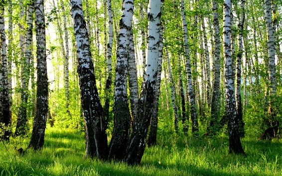 Wallpaper Birch grove, summer, forest