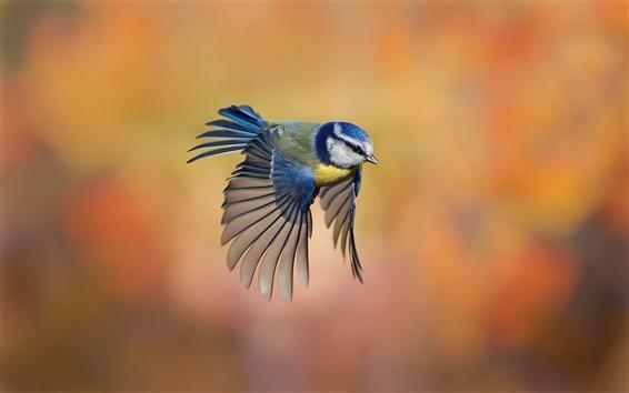 Wallpaper Bird close-up, chickadee flying, blur background