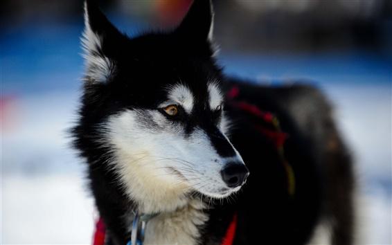 Обои Черный белая собака