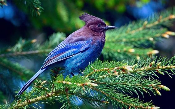 Обои Синие перья птицы, ель, ветви, лес