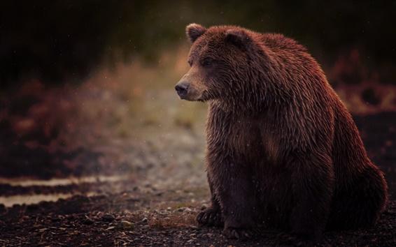 Papéis de Parede Urso de Brown, molhado, sente-se