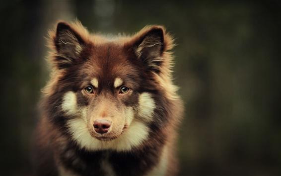 Wallpaper Brown dog look at you, bokeh