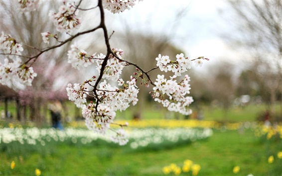 Wallpaper Cherry flowers, white petals, blur, spring nature