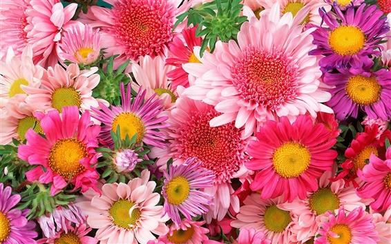 Обои Красочные цветы, хризантемы, розовый