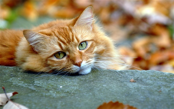 Wallpaper Cute cat, face, eyes, fall
