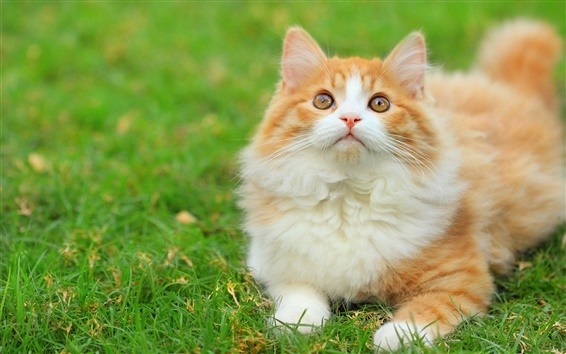 Wallpaper Cute fluffy cat in the grass
