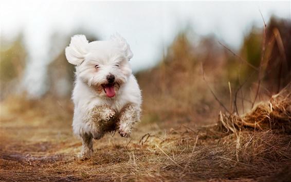 Papéis de Parede Bonito cão branco running