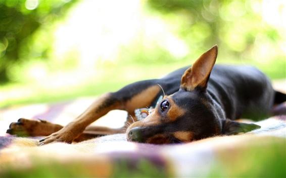 Wallpaper Dog sleeping in the summer