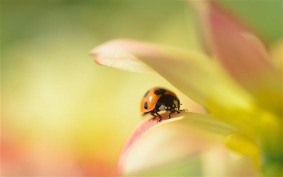 Wallpaper Flower macro, dahlia, ladybug, blur background