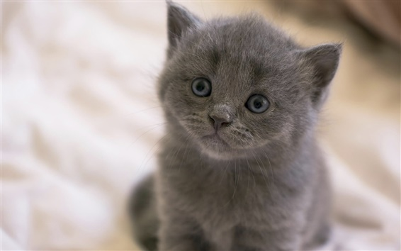 Wallpaper Gray kitten, eyes, snout, bokeh