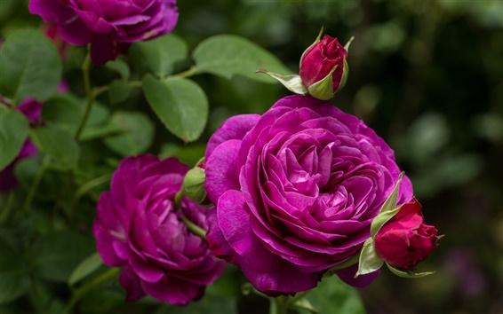Fondos de pantalla Heidi Klum Rose, púrpura flores color de rosa