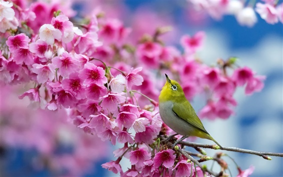 Papéis de Parede Sakura japonês, flores de cerejeira, pássaro, primavera