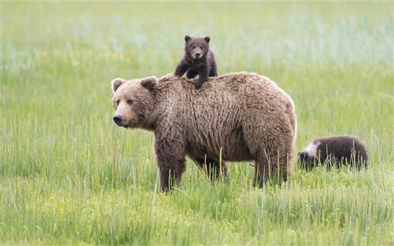 Papéis de Parede Parque Nacional do Lago Clark, Alaska, ursos, prado