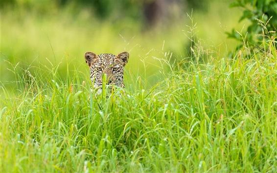 Wallpaper Leopard hidden in the grass, Africa, the green season