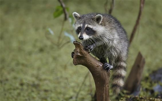 Wallpaper Little raccoon close-up