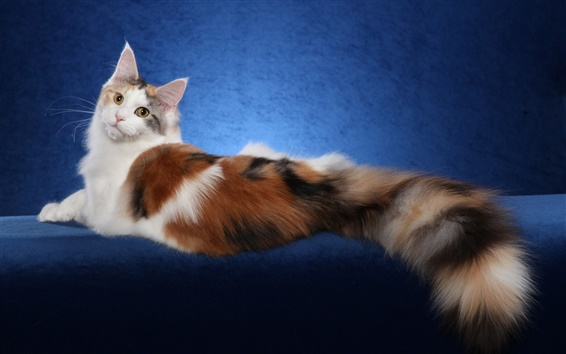 Wallpaper Maine Coon cat, white brown, blue background