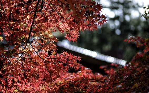 Wallpaper Maple trees, red leaves, bokeh