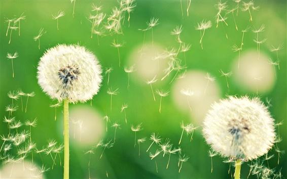 Обои Природа, одуванчик, боке, растение, зеленый