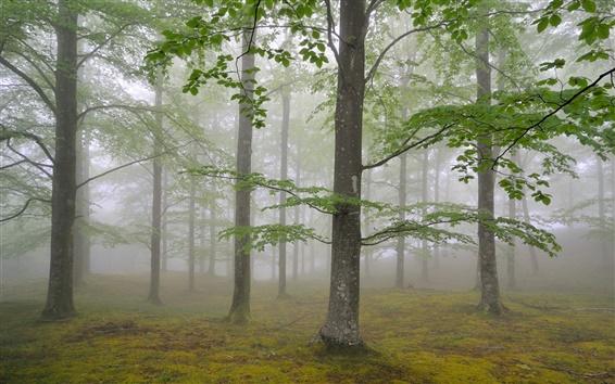 Обои Природа лесные деревья, туман, листва