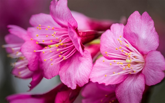 Papéis de Parede Pink flores, close-up, pétalas