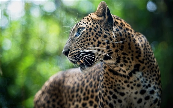 Wallpaper Predator, leopard, animal, bokeh