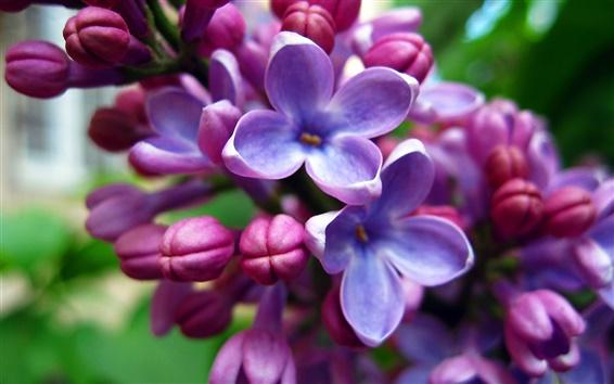 Wallpaper Purple flowers, lilacs