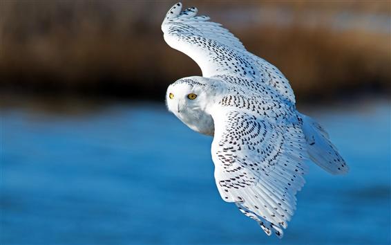 Обои Снежная сова, полет, крылья