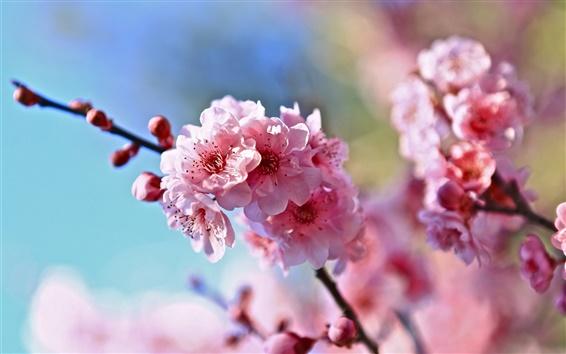 Обои Весна, ветки, розовые цветы вишни, размытия фона