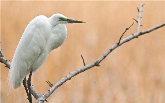 壁紙 木、枝、鳥、白鷺