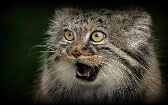 Papéis de Parede gato selvagem, predador, rosto, boca, dentes