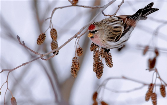 Wallpaper Winter, branch, bird, sparrow