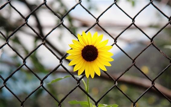 Wallpaper Yellow flower, iron fence