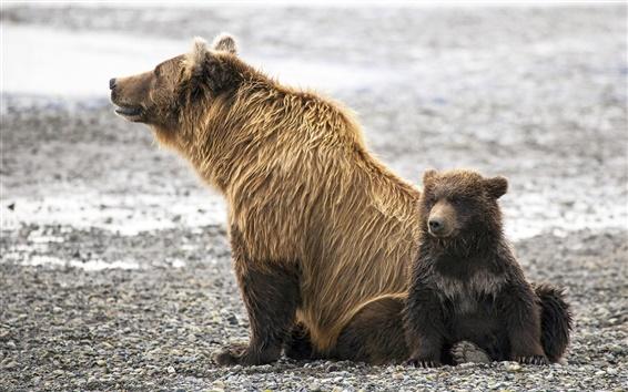 Обои Животные семья, бурые медведи