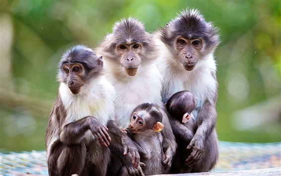 Wallpaper Animals family, monkey, mother, baby