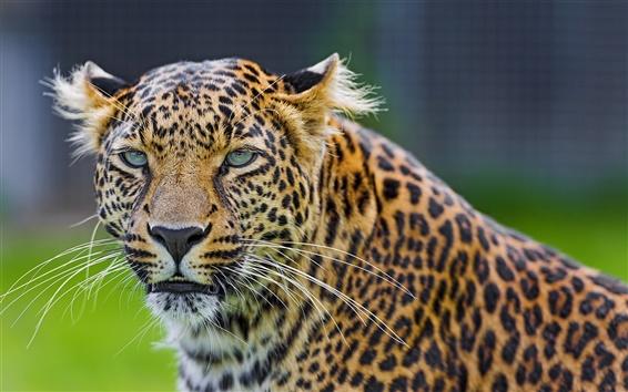Wallpaper Animals, leopard, predator, face, green eyes