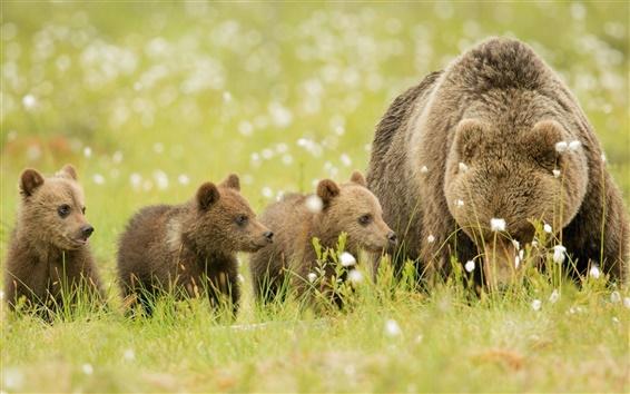 Обои Медведи, коричневый, луг, медвежата, семья