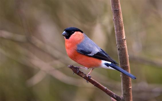 Fondos de pantalla Bird primer plano, camachuelo, ramas