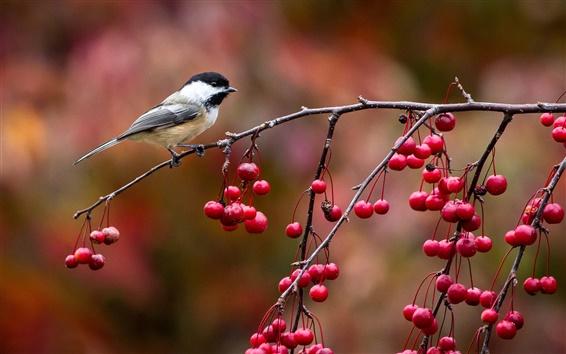 壁紙 鳥クローズアップ、アメリカゴガラ、小枝や赤い果実、秋
