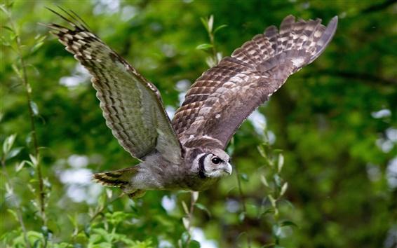 Обои Птица, сова, крылья, полет