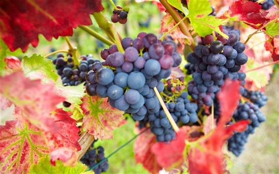 Обои Синие фиолетовый виноград, красные листья, осень, урожай