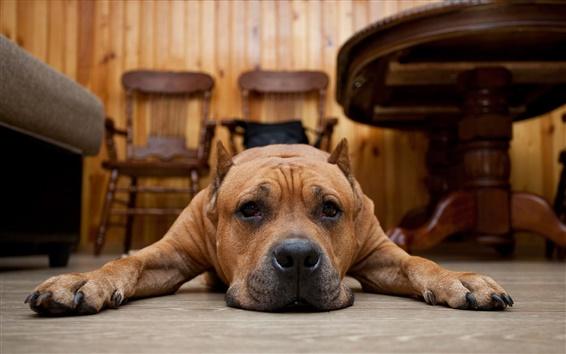 Wallpaper Brown dog, floor, sadness