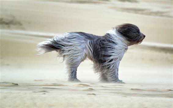 Fond d'écran Chien dans le vent, le sable