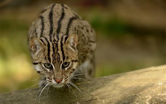 Wallpaper Fishing cat