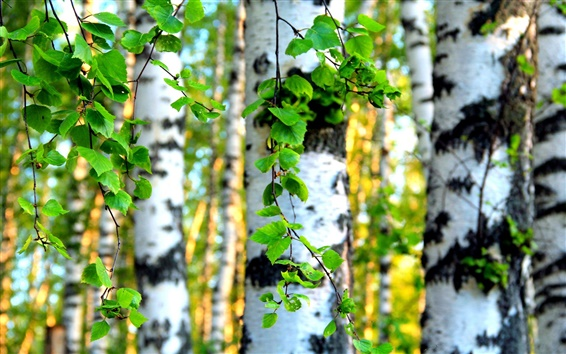 Wallpaper Forest trees, birch leaves